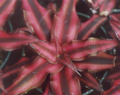Picture of Cryptanthus bivittatus