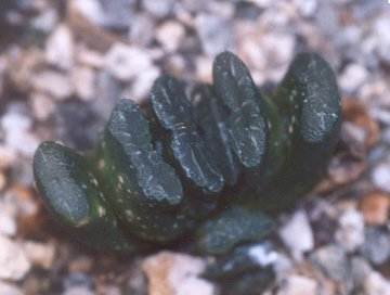 Picture of Haworthia truncata