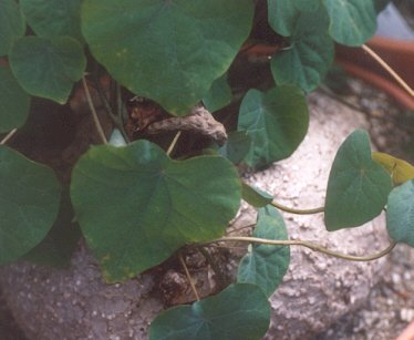 Picture of Stephania rotunda