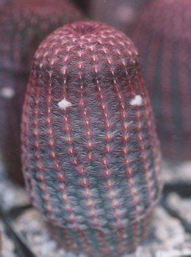 Picture of Echinocereus pectinatus var. rubrispinus