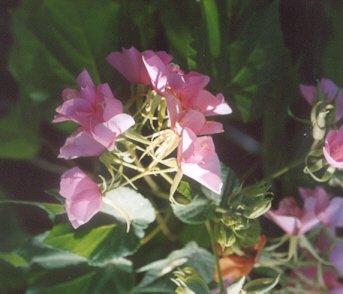 Picture of Dombeya x seminole
