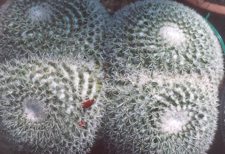 Picture of Mammillaria parkinsonii