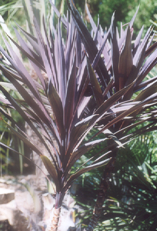 Picture of Cordyline baurii