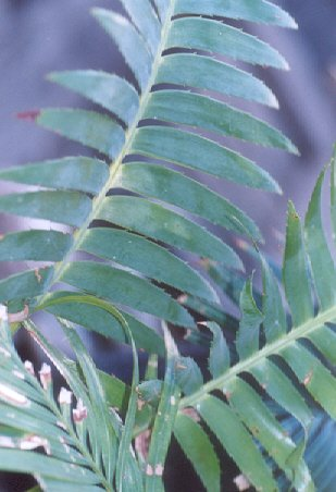 Picture of Dioon spinulosum