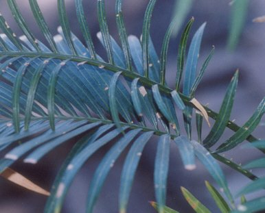 Picture of Cycas thouarsii