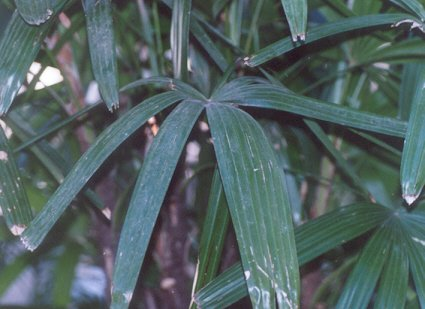 Picture of Rhapis elcelsea