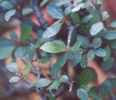 Picture of Bursera simplicifolia
