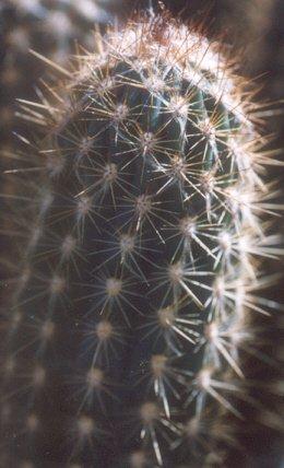 Picture of Pilosocereus calcisaxicolus