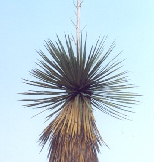 Picture of Yucca thompsonii