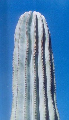 Picture of Pachycereus pringlei