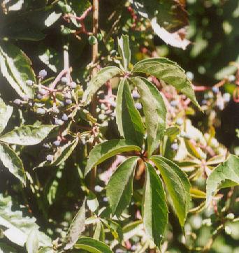 Picture of Parthenocissus tricuspidata