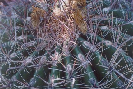 Picture of Ferocactus wizlizeni