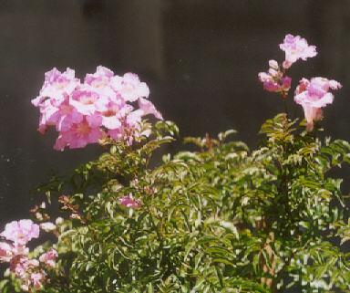 Picture of Podranea ricasoliana