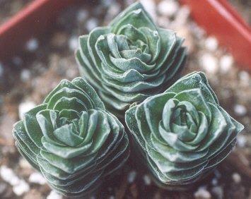 Picture of Crassula sp.
