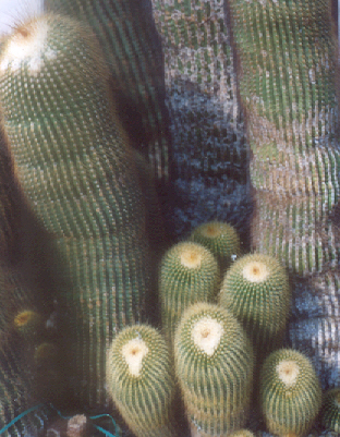 Picture of Notocactus leninghausii