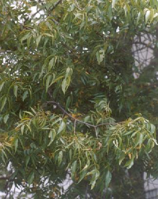 Picture of Carya illinoensis