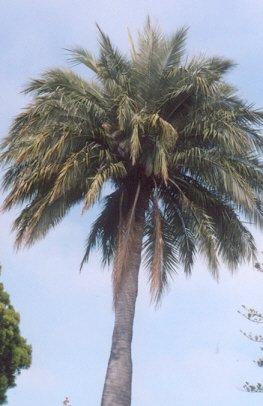 Picture of Jubaea chilensis