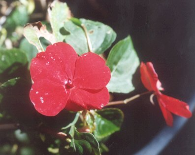 Picture of Hydrangea anomala ssp. petiolaris