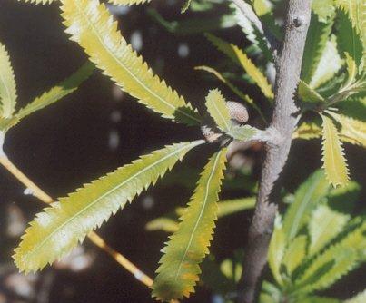 Picture of Banksia serrata