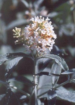 Picture of Buddleja fallowiana