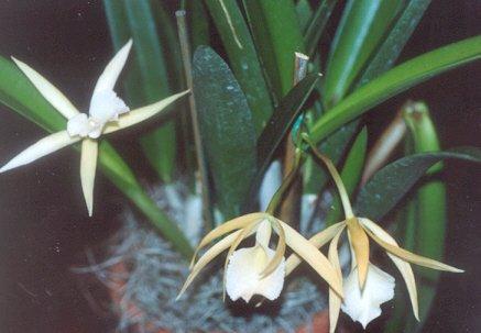 Picture of Brassavola