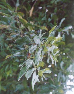 Picture of Macadamia integrifolia