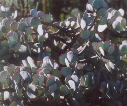 Picture of Crassula arborescens