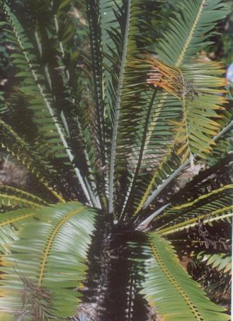 Picture of Encephalartos manikensis