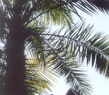 Picture of Phoenix reclinata