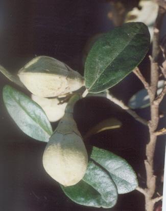 Picture of Lagunaria petersonii