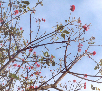 Picture of Erythrina abyssinica