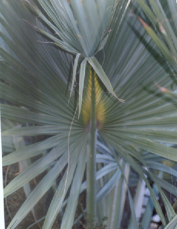 Picture of Sabal causarium