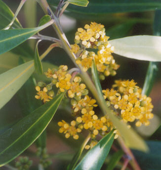 Picture of Tristaniopsis laurina