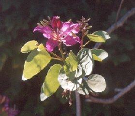 Picture of Bauhinia x blakeana