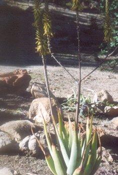 Picture of Aloe vacillans