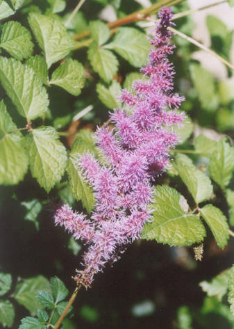 Picture of Astilbe chinensis