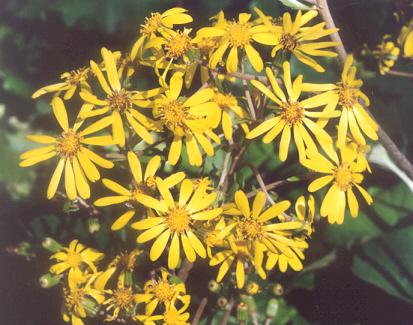 Picture of Farfugium japonicum
