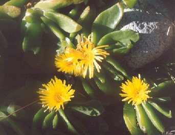 Picture of Glottiphyllum linguiform