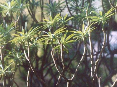 Picture of Euphorbia lambii