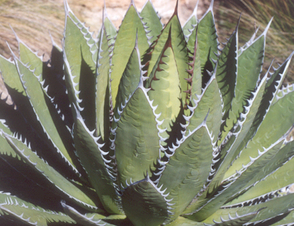 Picture of Agave horrida