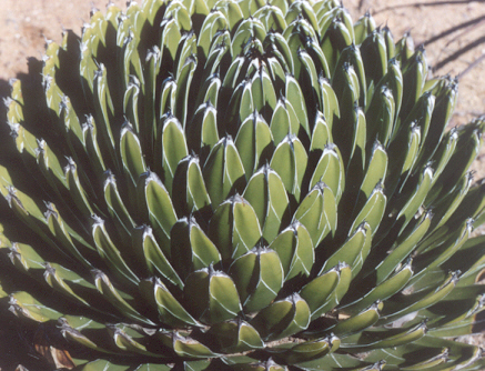 Picture of Agave victoria-regnae