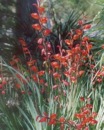 Picture of Gladiolus dalenii