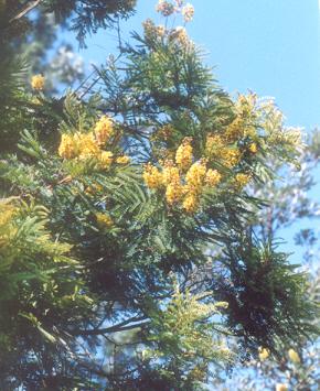 Picture of Peltophorum africanum