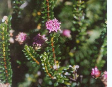 Picture of Pimelea ferruginea