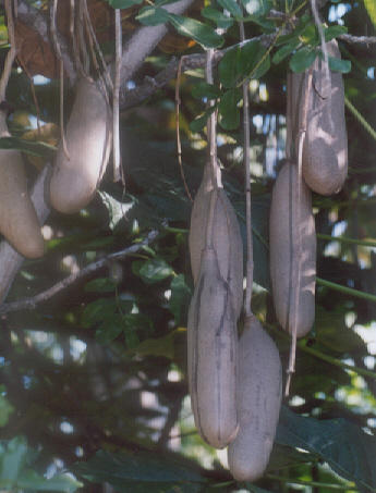 Picture of Kigelia pinnata