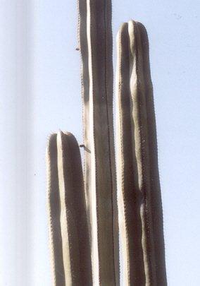 Picture of Pachypodium marginatus
