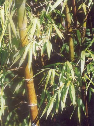 Picture of Bambusa lako