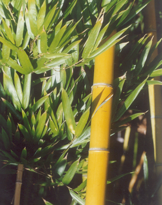 Picture of Phyllostachys vivax
