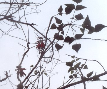 Picture of Erythrina humeana