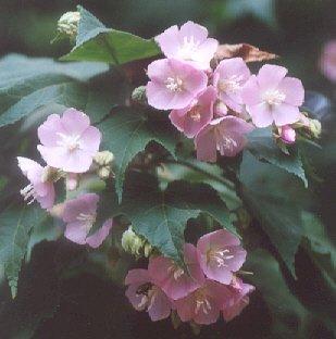 Picture of Dombeya cayenxii